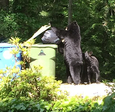 Black bears getting into neighborhood trash.